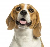 Close-up of a Beagle panting, looking up, isolated on white