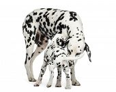 Dalmatian adult and puppy sniffing each other, isolated on white