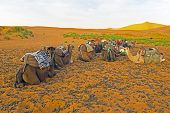 stock photo of hump day  - Camels in the Erg Chebbi desert in Morocco Africa - JPG