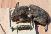 stock photo of dead mouse  - Dead field mouse in a mousetrap close-up