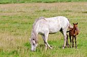 Horse White With A Foal