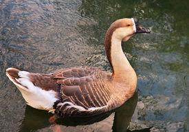 picture of honkers  - Big Duck Bird relaxing in pond Wild natural habitat - JPG
