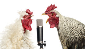 stock photo of roosters  - Two roosters singing at a microphone - JPG