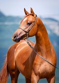 Chestnut young horse portrait, Arabian colt