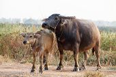 pic of female buffalo  - Close up buffalo in the field thailand - JPG