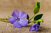 Beautiful Blue Flower Periwinkle