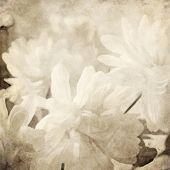 art floral vintage blurred background with white asters in sepia