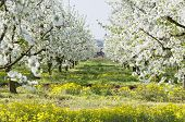 Flowering Sour Cherry Orchard