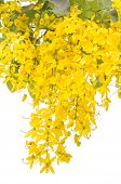 foto of cassia  - Yellow Golden shower Cassia fistula flower on tree isolate white background - JPG