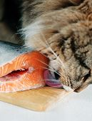 Cat Licking Piece Of Fish