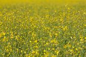 Rape Seed Field