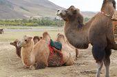 Bactrian camel (Camelus bactrianus) in the Mongolian prairie