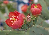 Opuntia Bloom