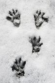 foto of marmot  - wild marmot paw tracks in the snow - JPG