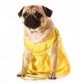 female pug wearing yellow sundress and beads isolated on white background