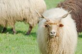 Hungarian Racka Sheep Gazing