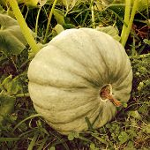 Organic pumpkin growing naturally outdoors