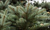 Branch of blue spruce