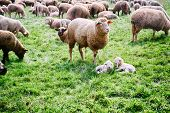 picture of baby sheep  - Sheep herd with baby lambs at green field - JPG