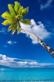 Palm tree on Moorea Island hanging over blue lagoon