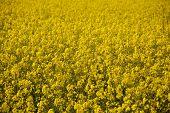 Bright Yellow Oilseed Rape Flowers