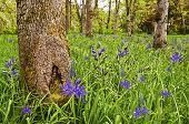 Meadow with Purple blue Camas Wildflowers