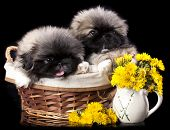 Pekingese puppy and Pekingese puppy