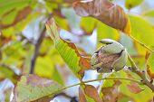 ripe walnut on a tree after rain
