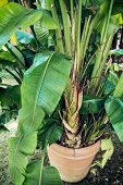 stock photo of monocots  - Palm tree in the pot - JPG