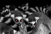 Meerkats Eyes