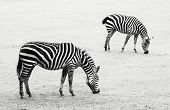 Two Zebras Grazing In The Meadow