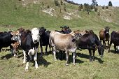 New Zealand Dairy Cows