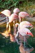 A flock of pink flamingos in the pond