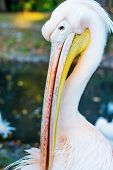 Pelican in the park close up