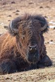 stock photo of budge  - American bison in the rocky mountains colorado usa - JPG