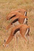 Gazelle lineup