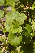 Vineyard - Vine Leaves