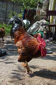 Angry Cock