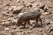 Wild Boar, Wild Pig On Field