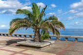 Palm Tree At A Pedestrian Promenadel Along The Coast Of Madeira Island