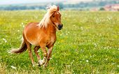 picture of pony  - Small pony horse running on the field  - JPG