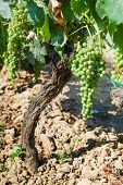 image of vines  - Young green grape on vine - JPG