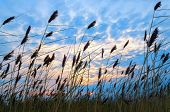 picture of windy weather  - Reed against the evening colorful skyscape - JPG