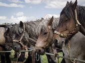 stock photo of saddle-horse  - Beautiful saddled Belgian horses are waiting behind a rope - JPG
