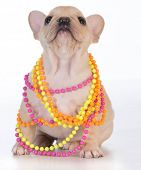 female french bulldog puppy wearing colorful necklace on white background