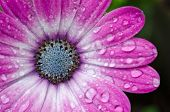 Pink/purple Osteospermum African Daisy