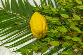 picture of species  - The LULAV palm shoot the bouquet of four species associated bundle with branches of willow willow Myrtle citron yellow fruit lying on a white tablecloth - JPG