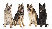 Four German Shepherds