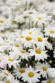 Chrysanthemum Flower Blooming In The Garden