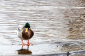 pic of male mallard  - one beutiful mallard it is a male and it standing in the water - JPG